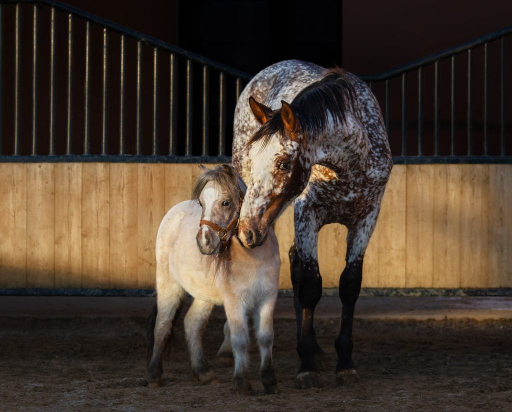 Appaloosa horse and American miniature horse in paddock at sunse