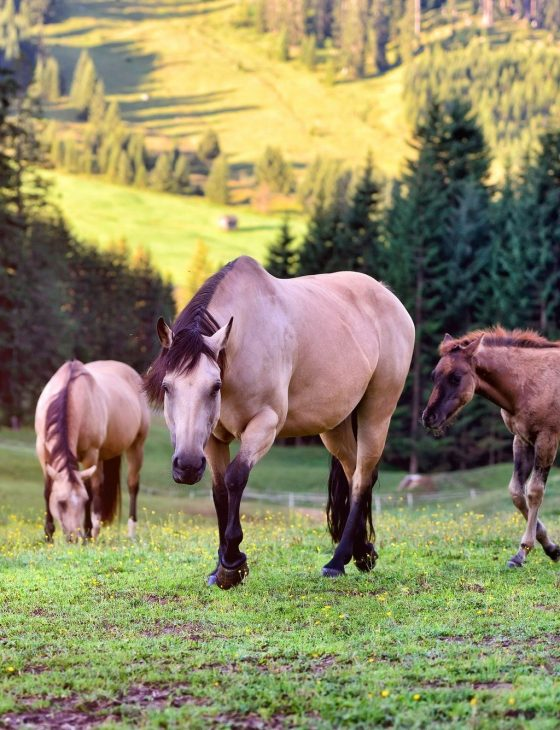 Horses on the meadow in the mountains